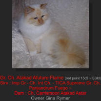 Gr. Ch. Atakad Afuture Flame (red point 13c5 ~ SBId) Sire : Imp Gr.- Ch. Int Ch. - TICA Supreme Gr. Ch. Panjandrum Fuego ~  Dam : Ch. Carrismoon Atakad Astar Owner Gina Rymer